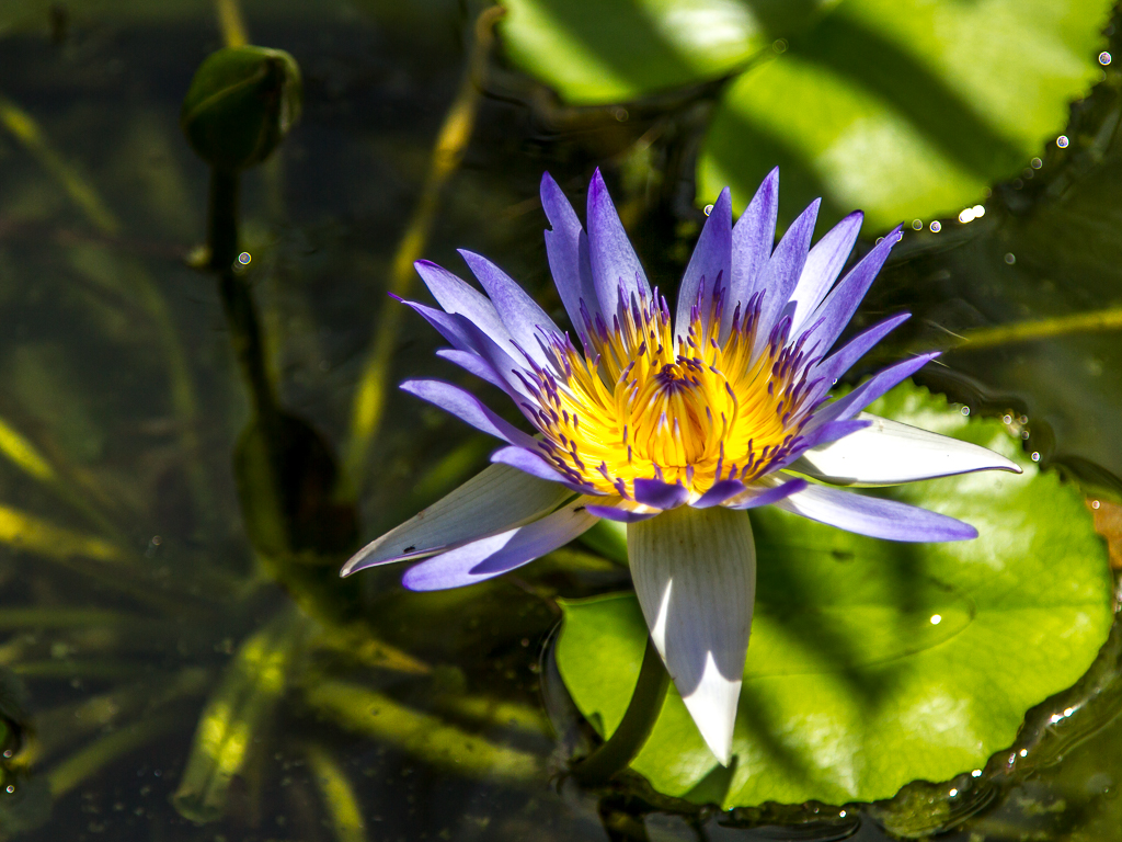 Hoi An, flower