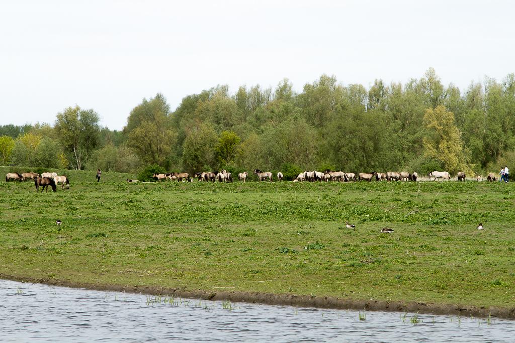 Konikpaarden