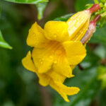 Allamanda schottii<BR> - Apocynaceae-3867