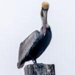 Bruine pelikaan - Pelecanus occidentalis-4057