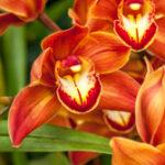 Cymbidium Marie Bashir - Orchidaceae-3927