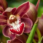 Cymbidium Rotorua - Orchidaceae-3953