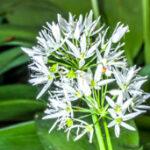 Daslook - Allium ursinum-5211