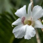 Dendrobium sanderae - Orchidaceae-3875
