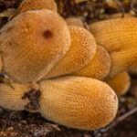 Gewone glimmerinktzwam - Coprinellus truncorum-2477