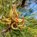 Grove den - Pinus sylvestris-4062