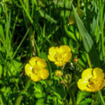 Kruipende boterbloem - Ranunculus Ropens-0057