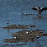 Kluut - Recurvirostra avosetta-0066