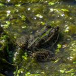 Rugstreeppad - Epidalea calomita-0072