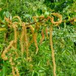 Schietwilg - Salix alba