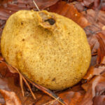 Gele aardappelbovist - Scleroderma citrinum-1978