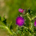 Kruldistel - Carduus crispus-2341