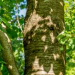 Zoete kers - Prunus avium