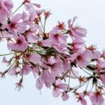 Kersenbloesem - Prunus serrulata-4350