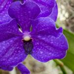 Vanda Patcharee Delight - Orchidaceae-3968