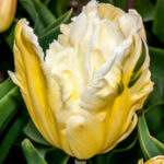 Webers parrot tulp-Tulipa-5027