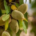 Amandelboom - Prunus dulcis-5704