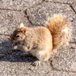 Amerikaanse rode eekhoorn - Tamiasciurus hudsonicus-3280