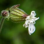 Avondkoekoeksbloem - Caryophyllaceae-6211