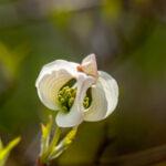 Cornus florida - Cornaceae-4528