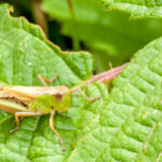 Europese treksprinkhaan - Locusta migratoria migratoria-6274