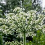 Gewone berenklauw - Heracleum sphondylium-6265