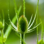 Grote kaardebol - Dipsacus fullonum-6001