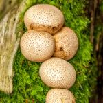Kleine aardappelbovist - Scleroderma areolatum-6656