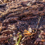 Lentetepelkogeltje - Rosellinia aquila-2611