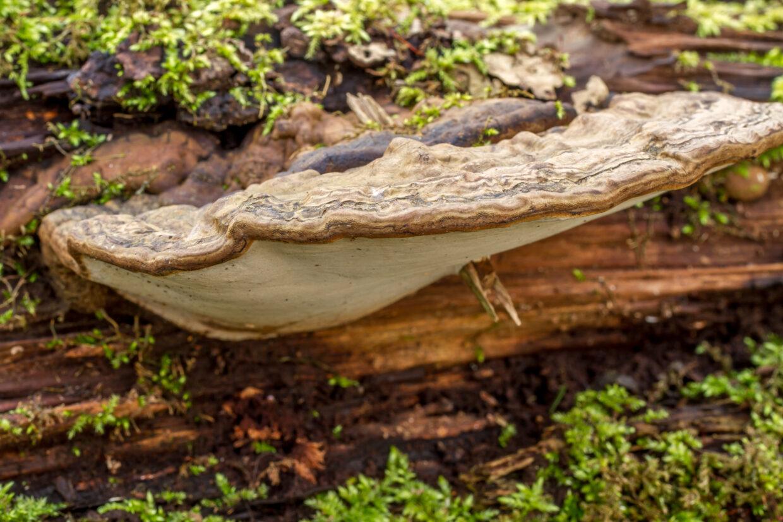 Platte tonderzwam - Ganoderma applanatum