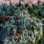 Rafelig bekermos - Cladonia ramulosa-7373