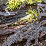 Rhizomorfen van een honingzwam - Armillaria ostoyae