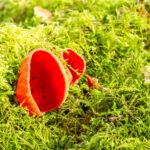 Rode kelkzwam - Sarcoscypha coccinea-2562