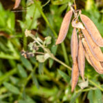 Valse acacia - Robinia pseudoacacia-6984