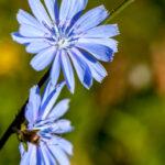 Wilde cichorei - Cichorium intybus-6751