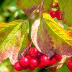 Wilde lijsterbes - Sorbus aucuparia-6499