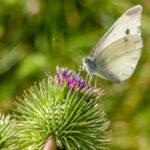 Witje - Pieridae-6511