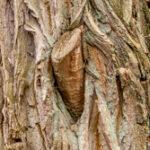 Zomereik - Quercus robur-4897