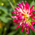 Dahlia - Asteraceae-7091