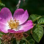 Hondsroos - Rosa canina-9767