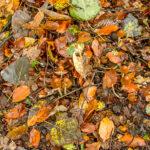Langsteelfranjehoed - Psathyrella conopilus-7273