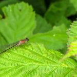 Lantaarntje infuscans - Ischnura elegans-0101