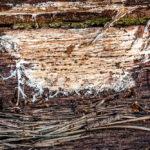 Melig dwergkorstje - Trechispora farinacea-7864