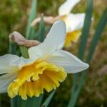 Wilde narcis - Narcissus pseudonarcissus-8123