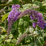 Buddleja davidii- Scrophulariaceae-0013