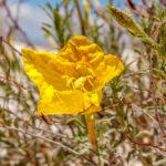 Camissonia brevipes - Onagraceae-9436