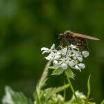 Dansvliegen - Empididae-2826