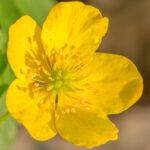 Gele anamoon - Anemone ranunculoides-1428