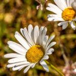 Gewone margriet - Leucanthemum vulgare-9844