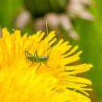 Grote groene sabelsprinkhaan - nimf - Tettigonia viridissima-2861